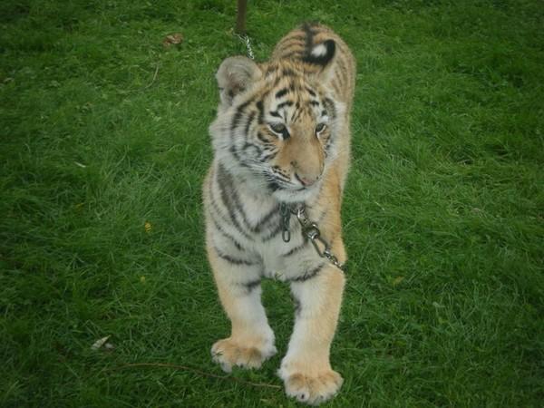 Location de tigre       Tél:06.03.71.90.62