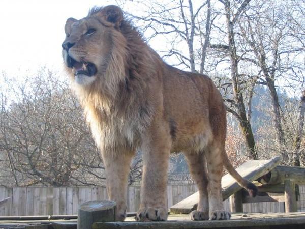 louer un lion         Tél:06.03.71.90.62