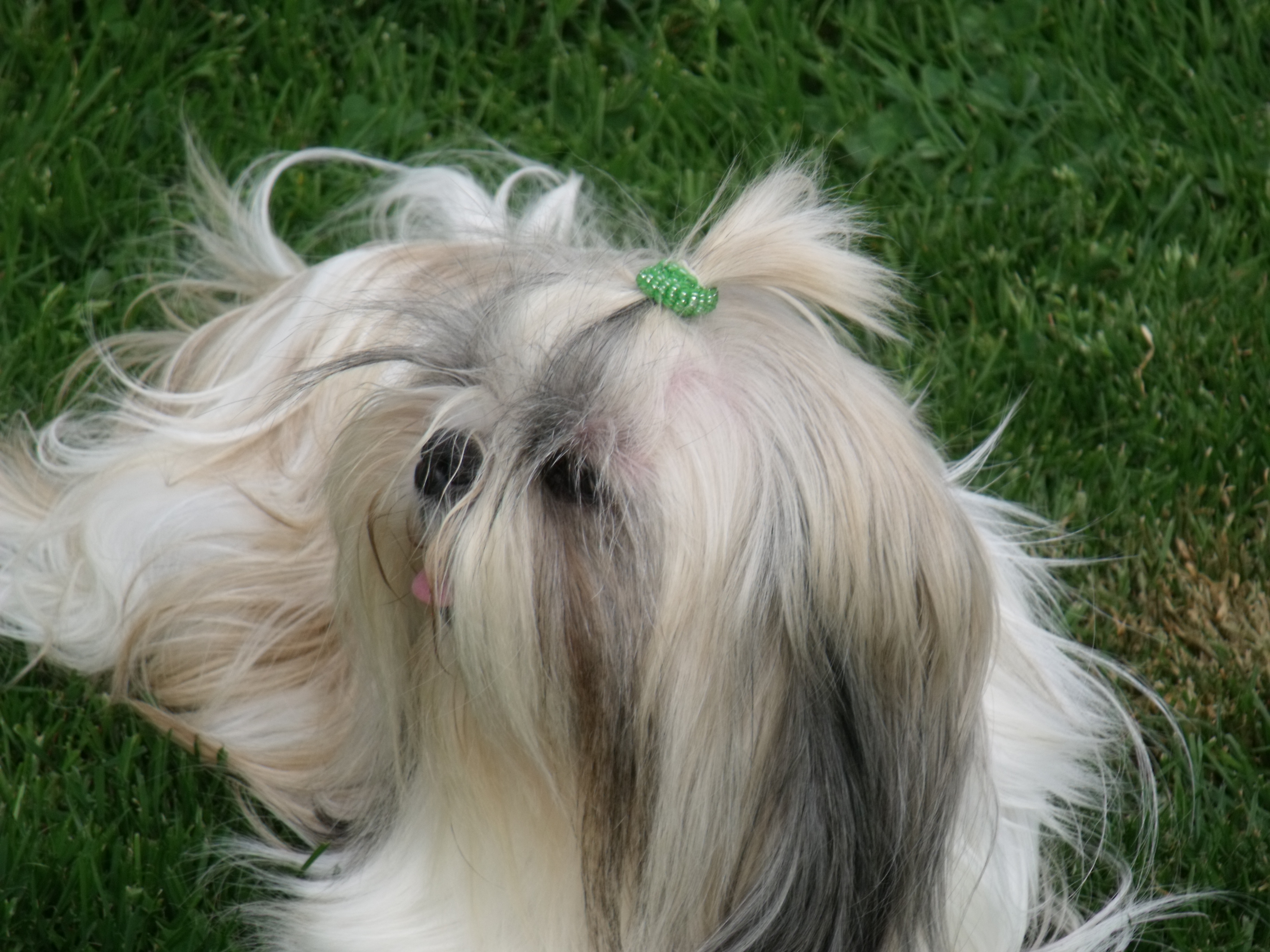 Related Pictures shih tzu king charles mix puppies